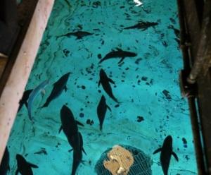 030201 Monterey Fish 335