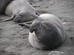 130105 Point Lobos Elephant seals