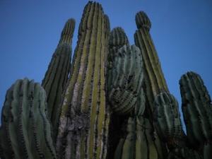 130127 Catvina Cactus 160